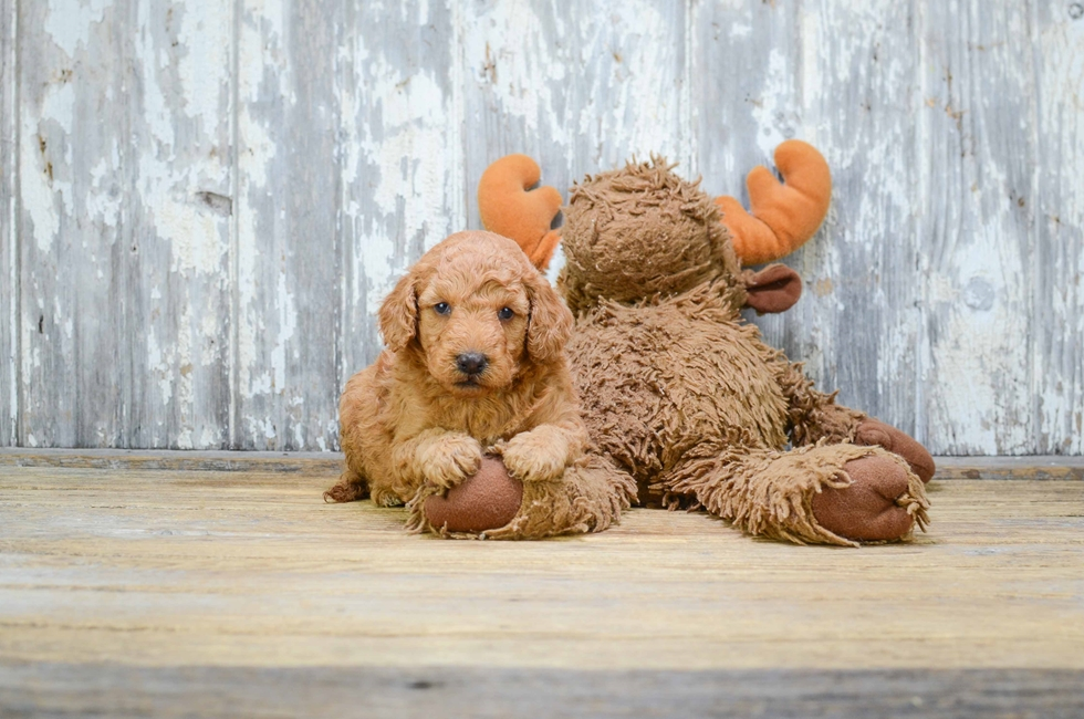 MINI GOLDENDOODLE PUPPY - 42 week old Mini Goldendoodle