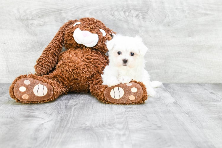 TEACUP MALTESE PUPPY 1