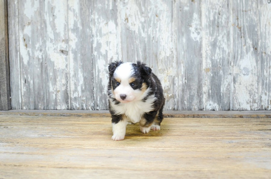 TOY AUSSIE PUPPY 6