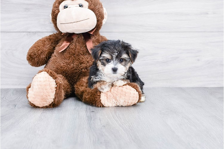TEACUP MORKIE PUPPY 1