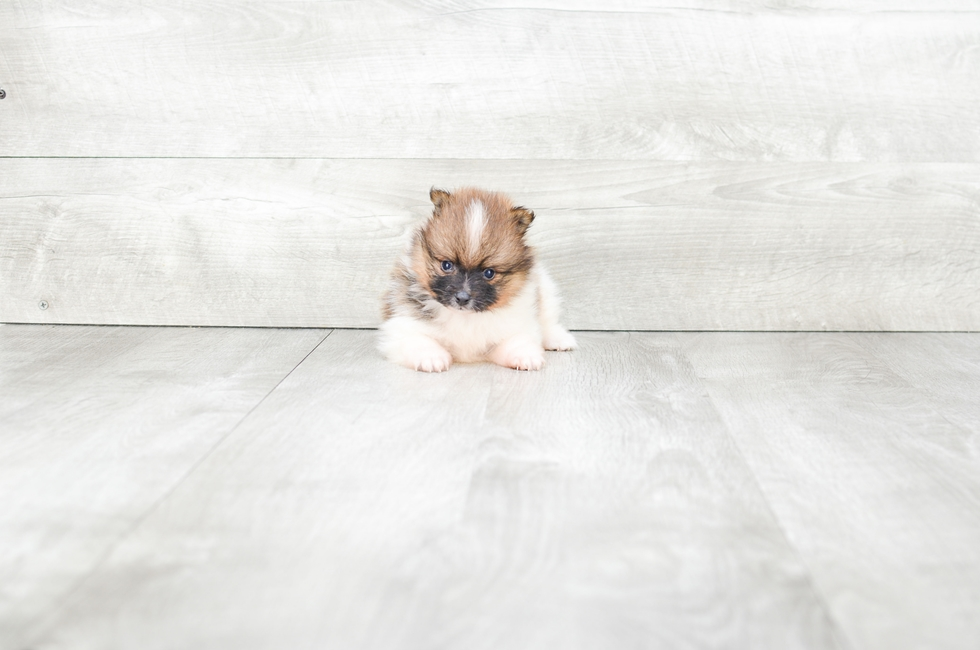 TEACUP POMERANIAN PUPPY - 10 week old Pomeranian for sale