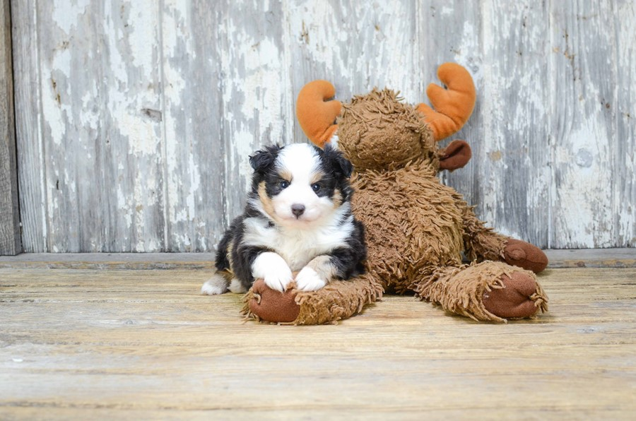 TOY AUSSIE PUPPY 2