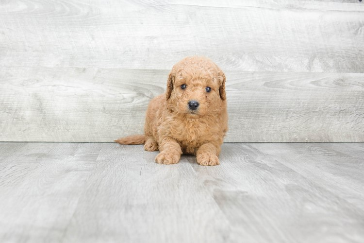 F1 MINI GOLDENDOODLE PUPPY 3