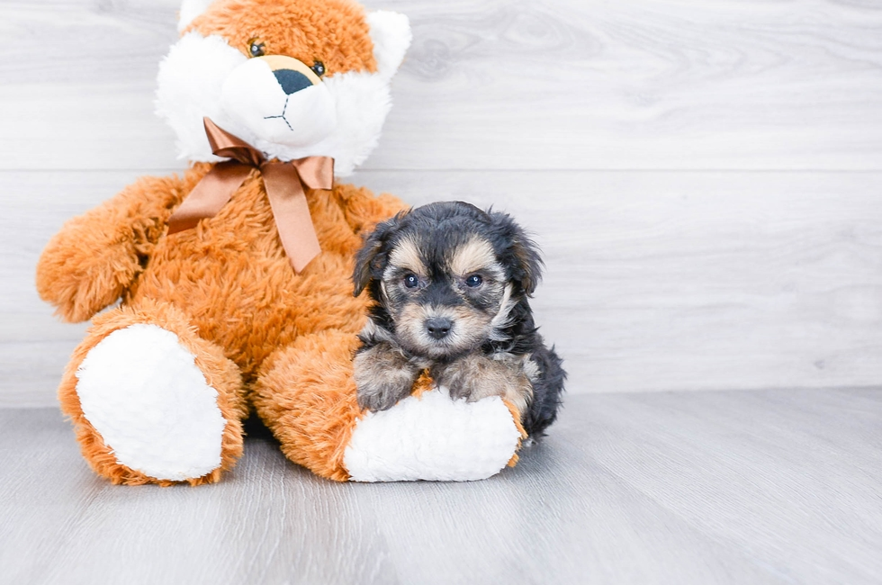 TEACUP YORK CHON PUPPY - 7 week old Morkie for sale