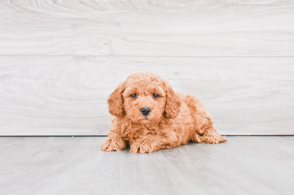 F1B MINI GOLDENDOODLE PUPPY - 8 week old Mini Goldendoodle for sale