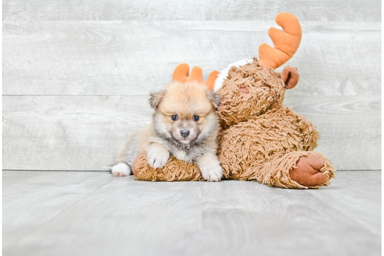 LACH Pomeranian Puppies for Sale | Teacup Pom puppies for sale in Ohio Puppy