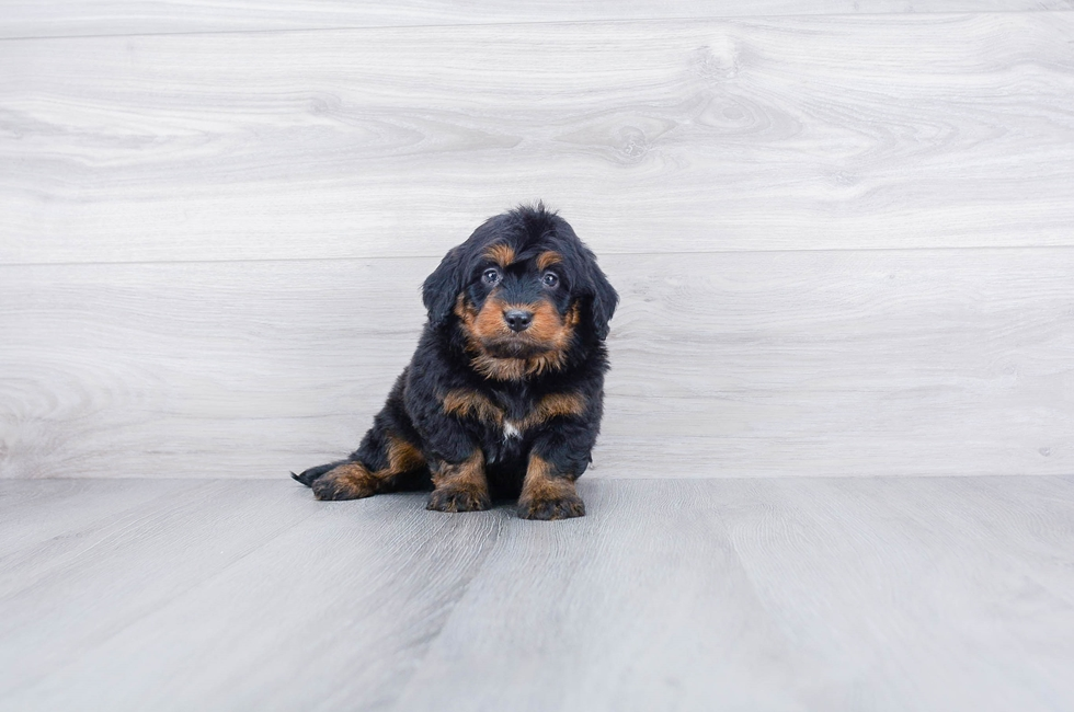 F1 MINI BERNEDOODLE PUPPY - 10 week old Mini Bernedoodle for sale