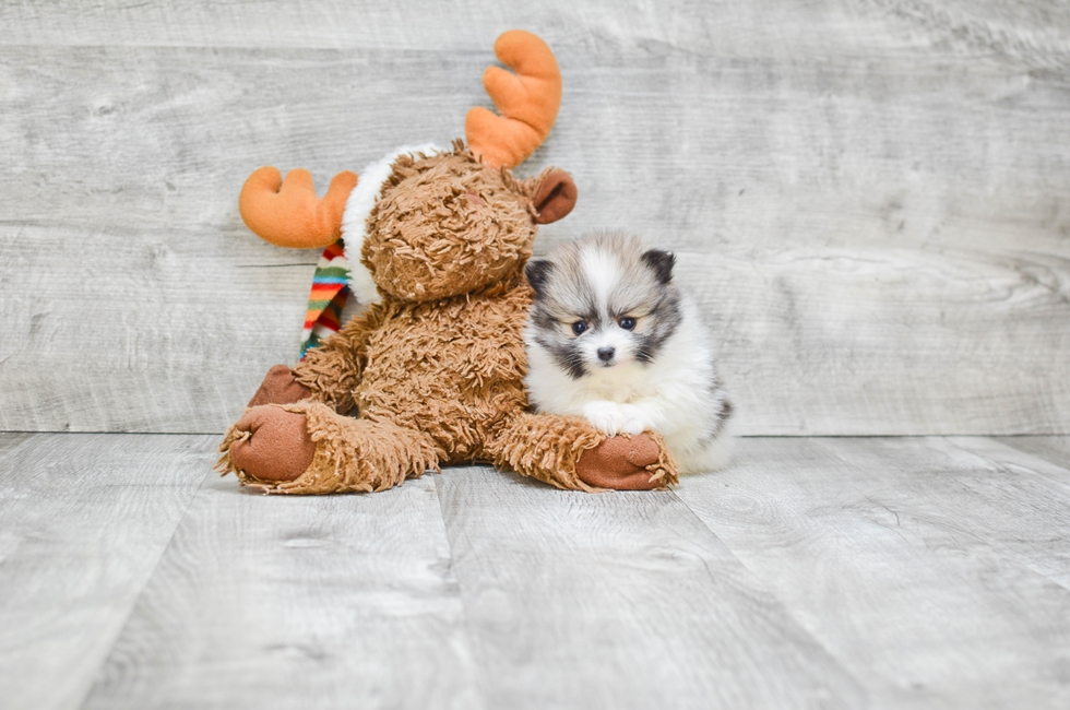 TEACUP POMERANIAN PUPPY - 5 week old Pomeranian for sale