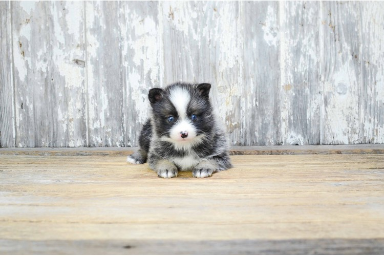 MINI POMSKY PUPPY 2