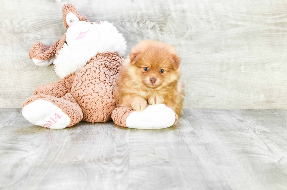 POMERANIAN PUPPY - 8 week old Pomeranian for sale