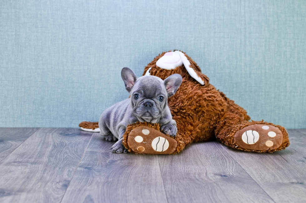 FRENCH BULLDOG PUPPY (LOCAL PICK-UP OR REGIONAL DELIVERY) - 12 week old French Bulldog for sale