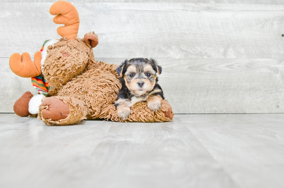 MORKIE PUPPY - 5 week old Morkie for sale