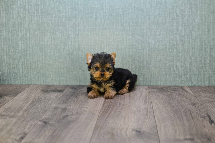 TEACUP YORKIE PUPPY 6
