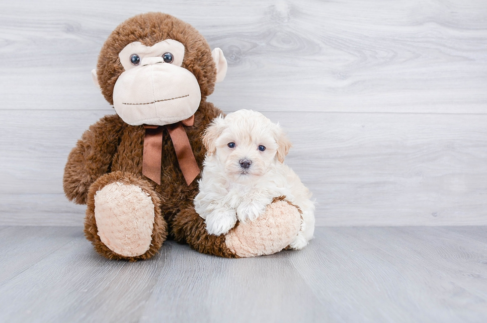 MALTI POO PUPPY - 10 week old Malti Poo for sale