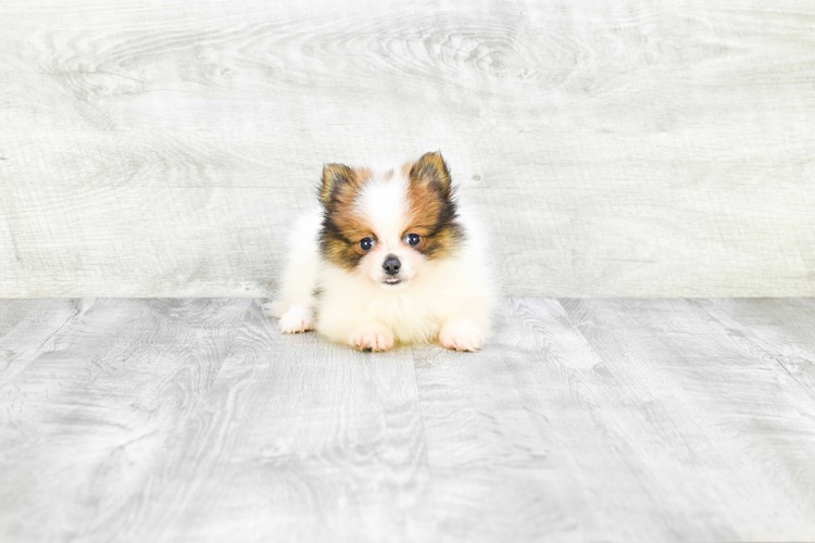 TEACUP POMERANIAN PUPPY 2