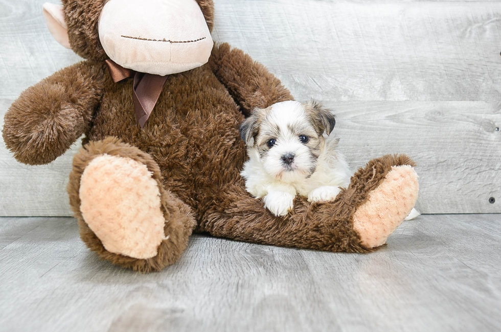 TEDDY BEAR PUPPY - 8 week old Teddy Bear for sale