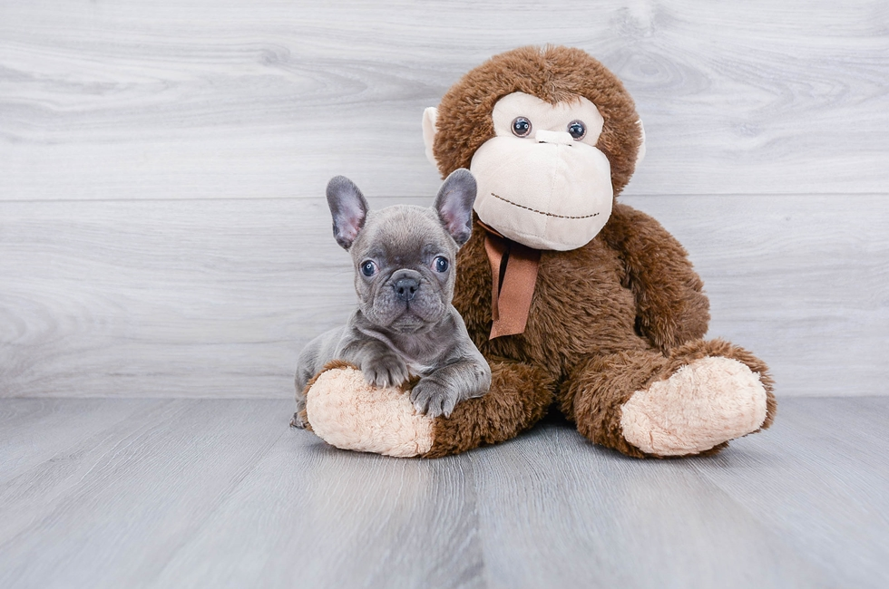 FRENCH BULLDOG PUPPY - 8 week old French Bulldog for sale