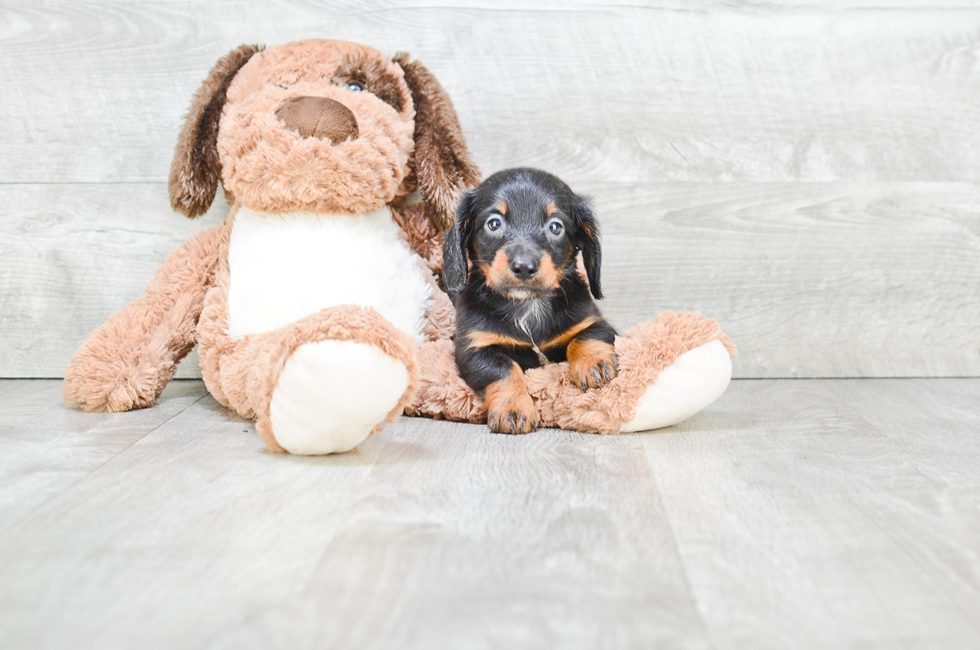 DACHSHUND PUPPY - 8 week old Dachshund for sale