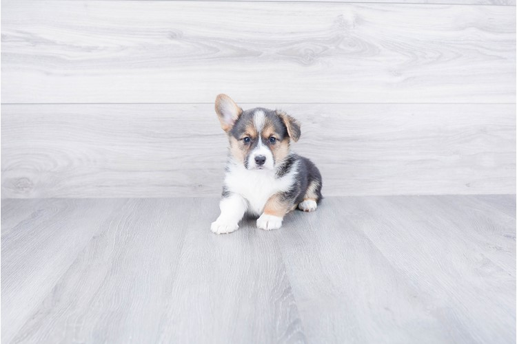 PEMBROKE WELSH CORGI PUPPY 2