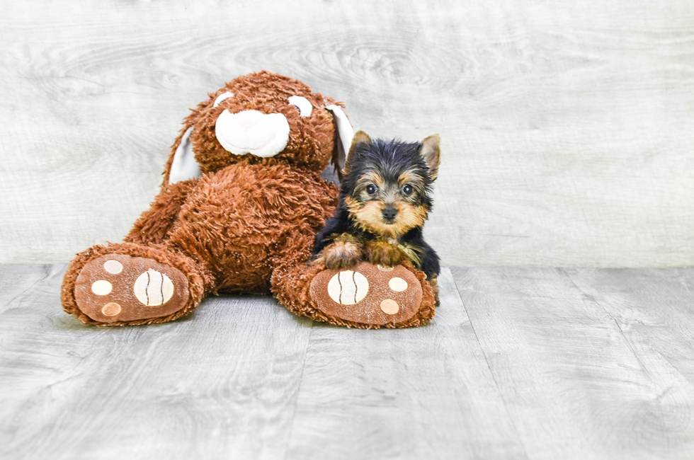 TEACUP YORKIE PUPPY - 9 week old Yorkshire Terrier for sale