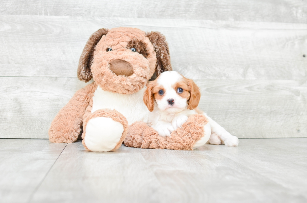 CAVALIER KING CHARLES SPANIEL PUPPY - 7 week old Cavalier King Charles Spaniel for sale
