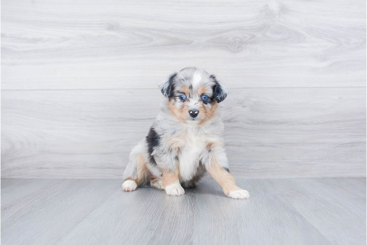 MINI AUSTRALIAN SHEPHERD PUPPY 3