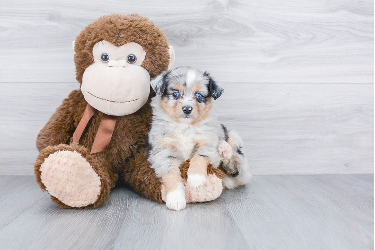 MINI AUSTRALIAN SHEPHERD PUPPY 2