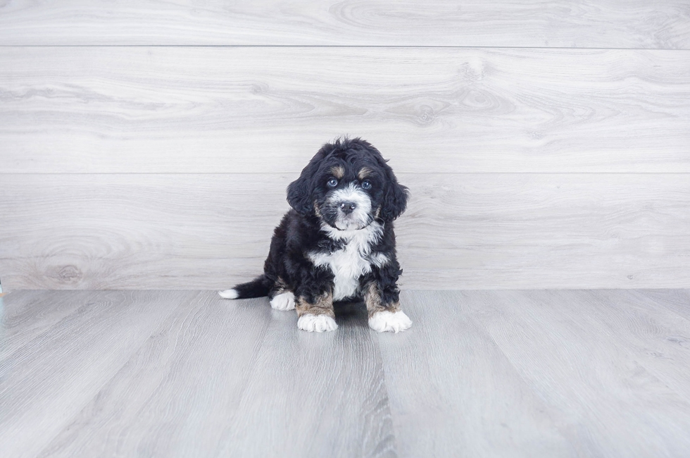 Mini Bernedoodle Puppies For Sale Online Premier Pups
