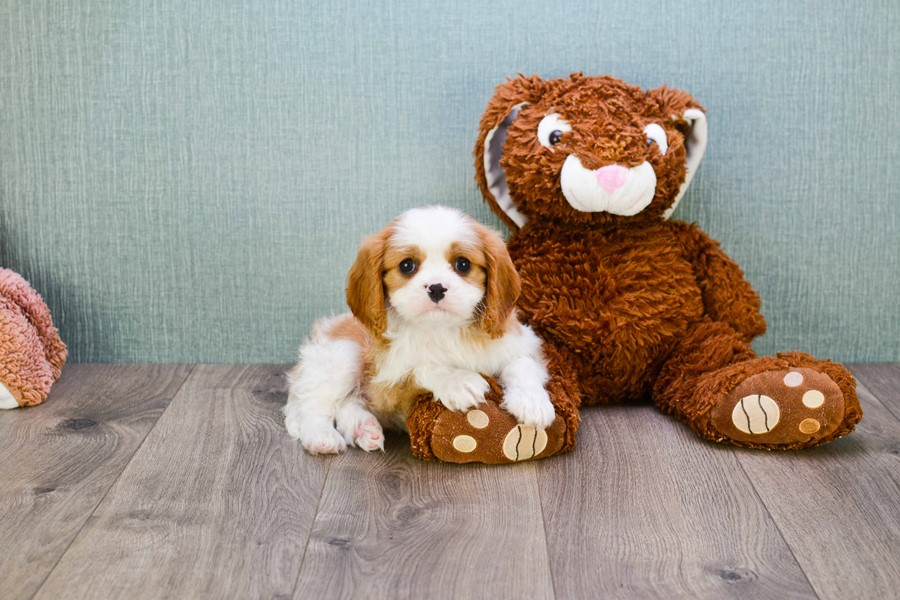 CAVALIER KING CHARLES PUPPY 3
