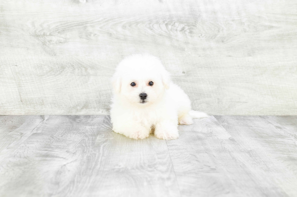 BICHON FRISE PUPPY - 10 week old Bichon Frise for sale