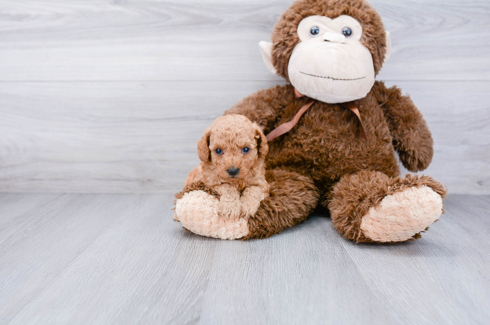TOY POODLE PUPPY - 6 week old Poodle for sale