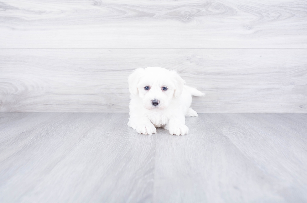 MALTI CHON PUPPY - 6 week old Malti Poo for sale