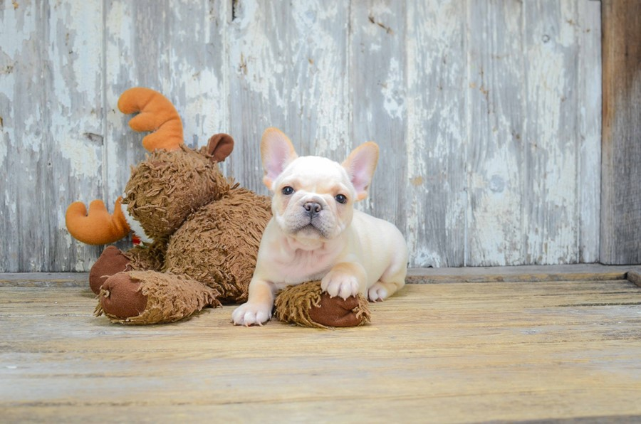FRENCH BULLDOG PUPPY 5