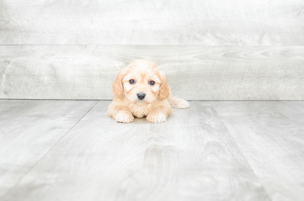 CAVA CHON PUPPY - 10 week old Cava Chon for sale