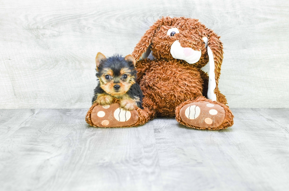 TEACUP YORKIE PUPPY - 10 week old Yorkshire Terrier for sale