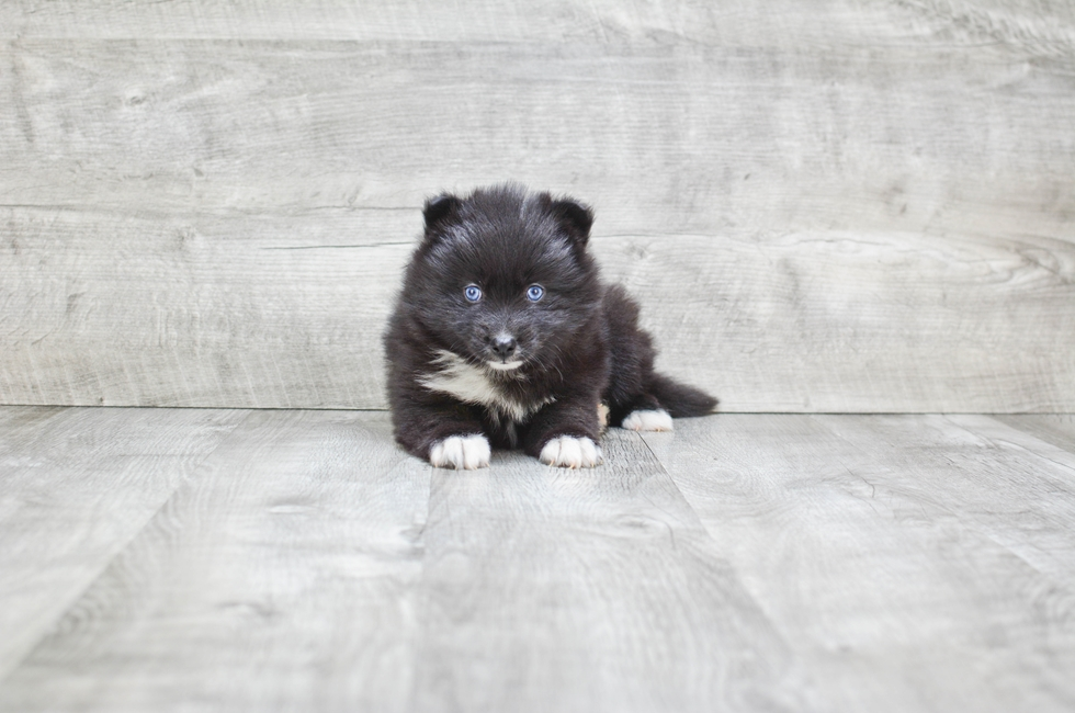 POMSKY PUPPY - 9 week old Pomsky for sale