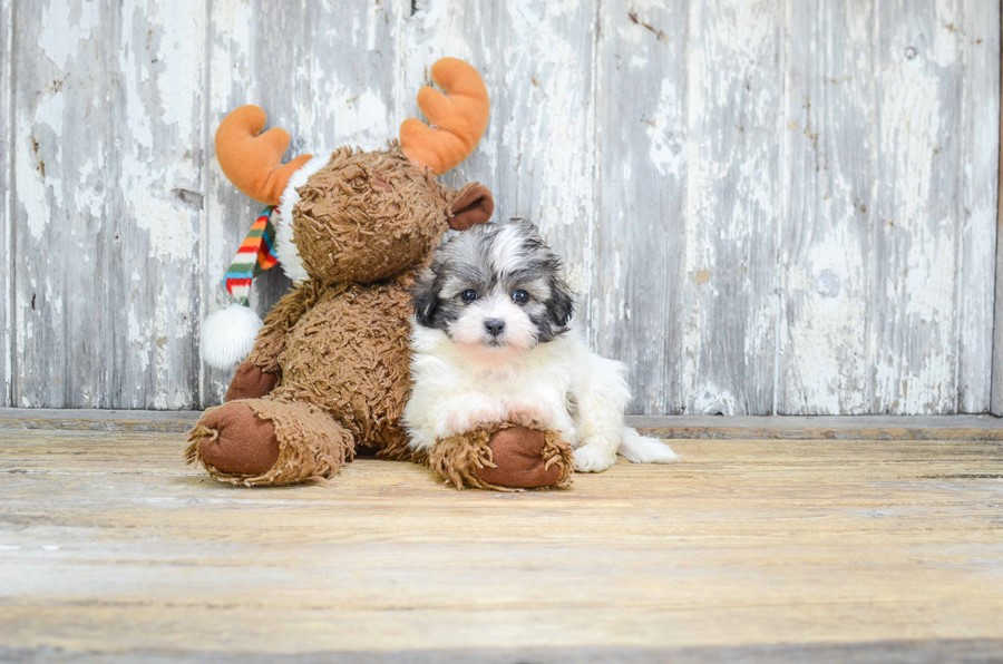 TEDDY BEAR PUPPY 1