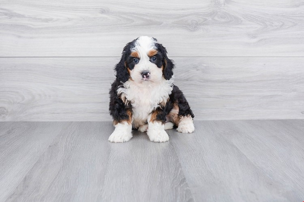 F1 MINI BERNEDOODLE PUPPY - 8 week old Mini Bernedoodle for sale
