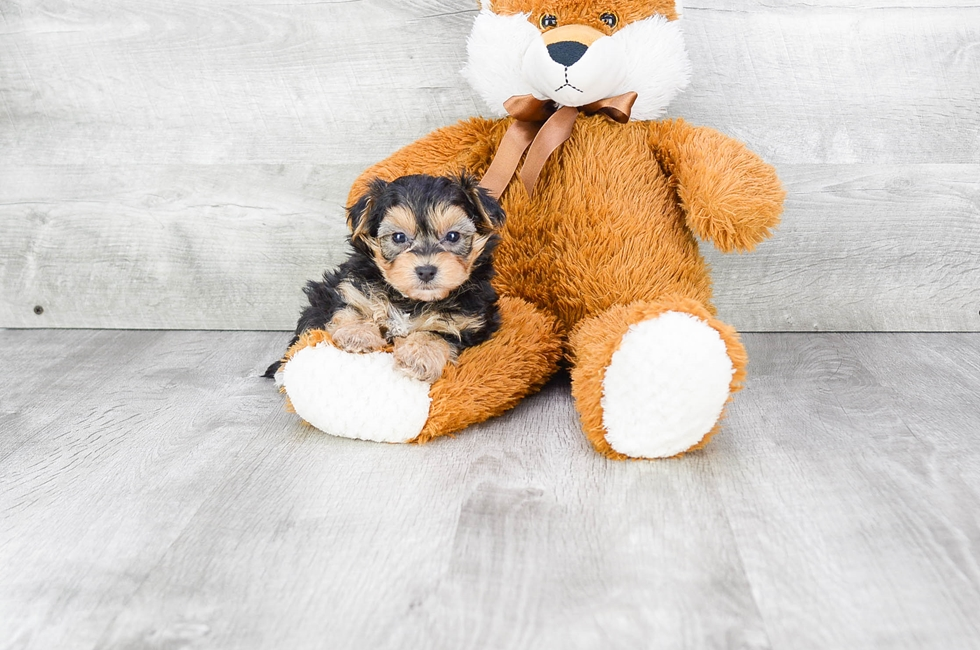 TEACUP YORK CHON PUPPY - 9 week old Morkie for sale