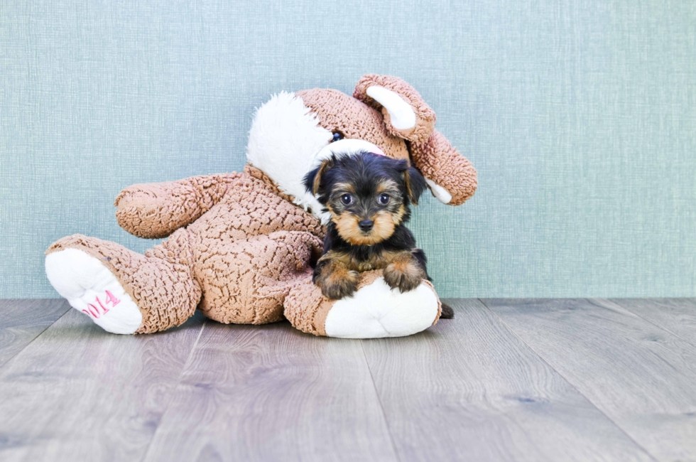 MICRO TEACUP YORKIE PUPPY - 8 week old Yorkshire Terrier for sale