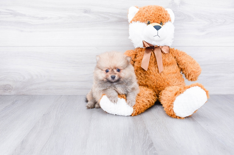 Pomeranian puppies for sale | Teacup breed Pom puppies for