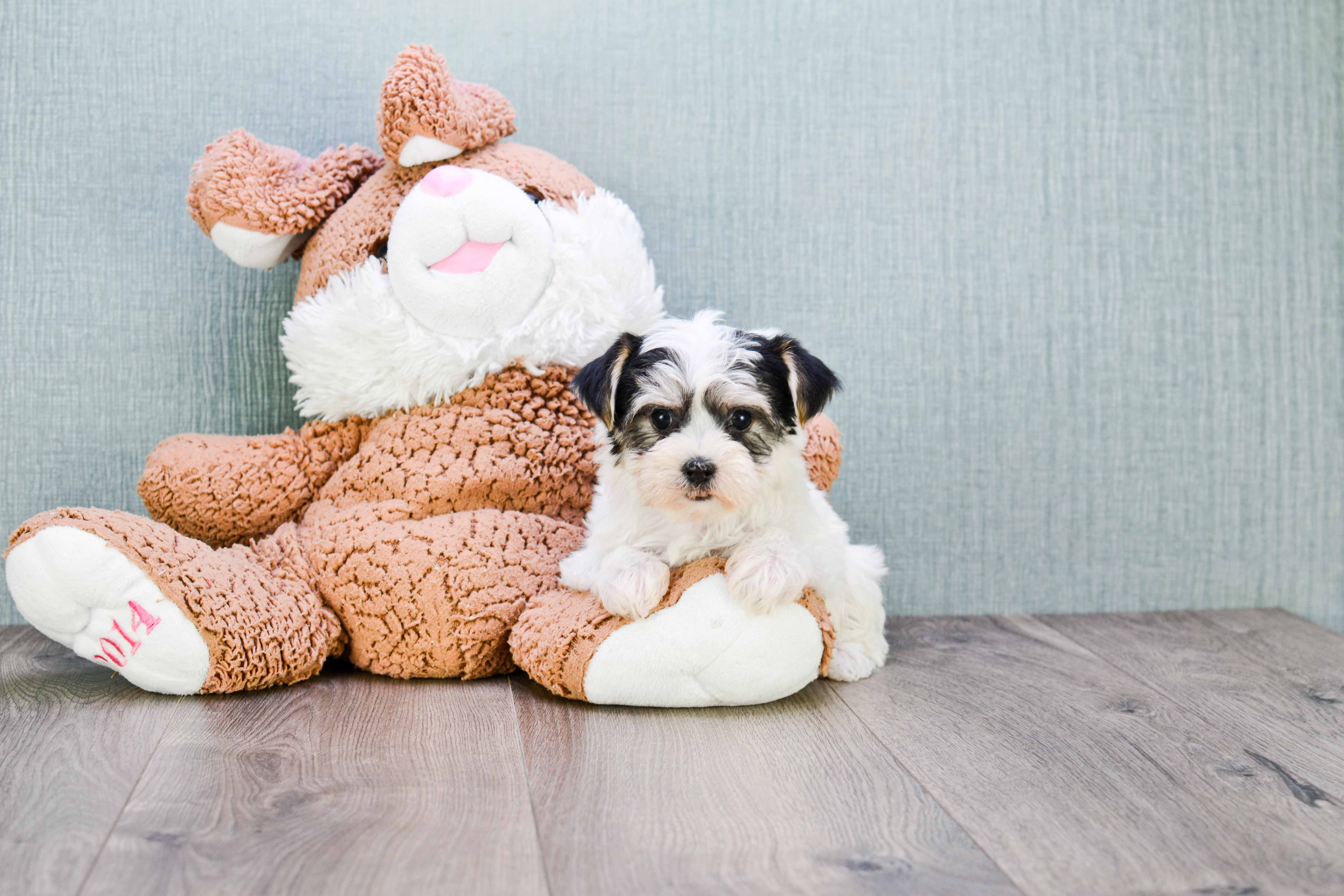 Admirable Morkie Puppies For Sale Mixed Small Breed Puppies For Sale Short Hairstyles For Black Women Fulllsitofus