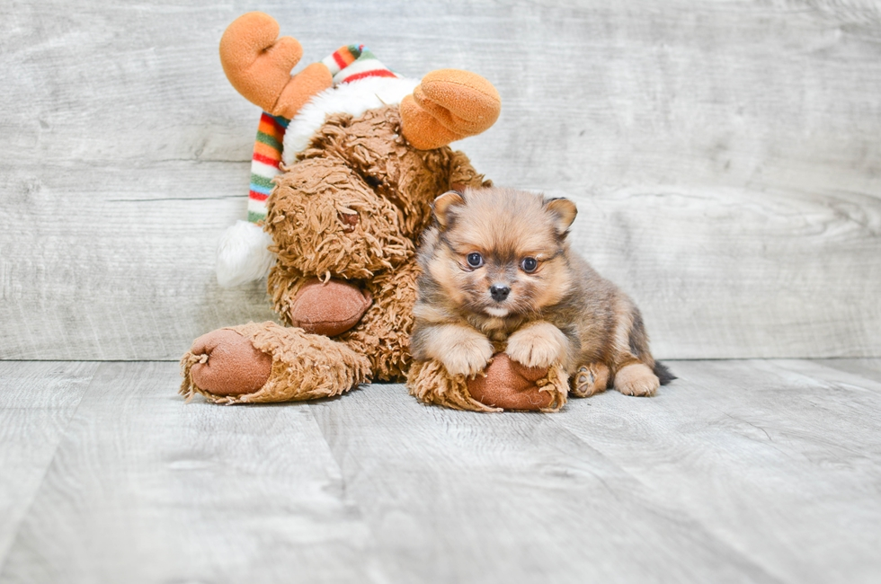 POMERANIAN PUPPY - 5 week old Pomeranian for sale