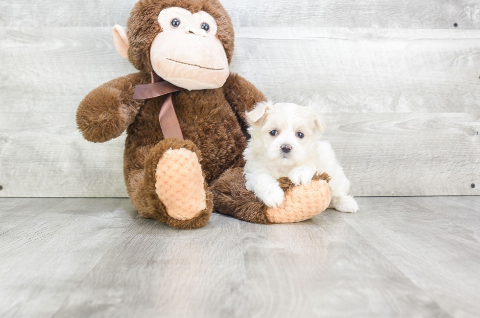 MALTI POO PUPPY - 9 week old Malti Poo for sale