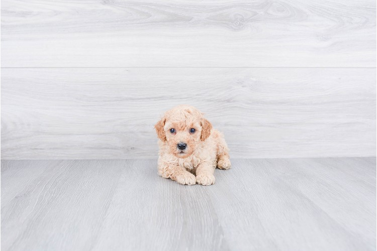 Poodle Puppy For Sale Premier Pups