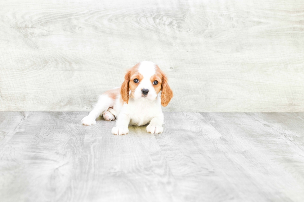 CAVALIER KING CHARLES SPANIEL PUPPY - 9 week old Cavalier King Charles Spaniel for sale