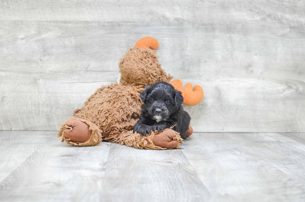 MINI AUSSIEDOODLE PUPPY - 8 week old Mini Aussies for sale