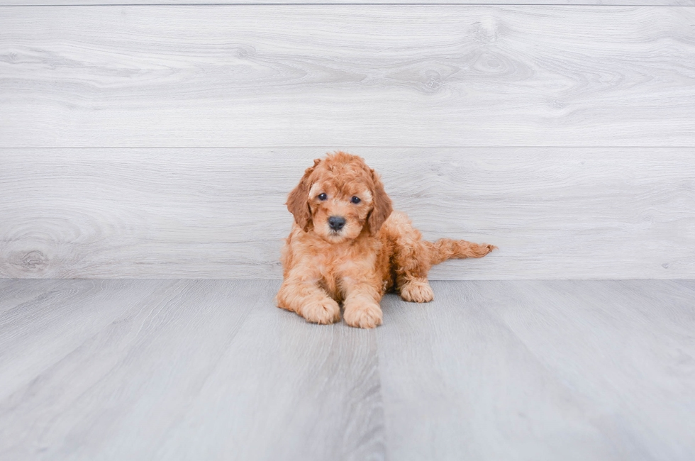 F1B COCKAPOO PUPPY - 9 week old Cockapoo for sale