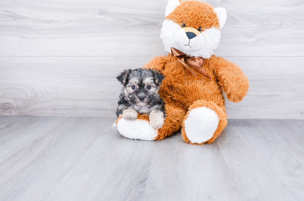 Morkie Puppies for Sale – On-the-spot Adoption in Ohio / US