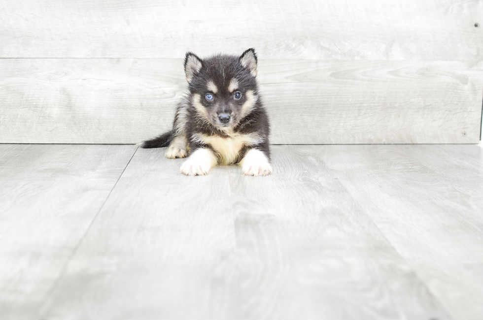 F2 POMSKY PUPPY - 7 week old Pomsky for sale
